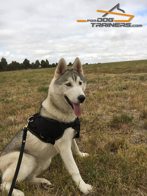 Siberian Husky Nylon Harness With Cushion-Like Chest Plate