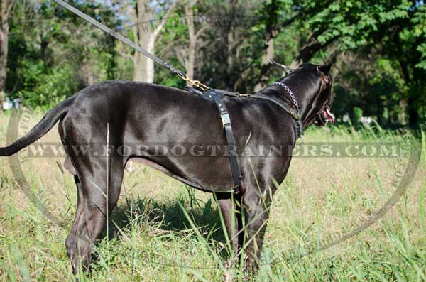 Leather Great Dane harness with brass quick release buckle for walking