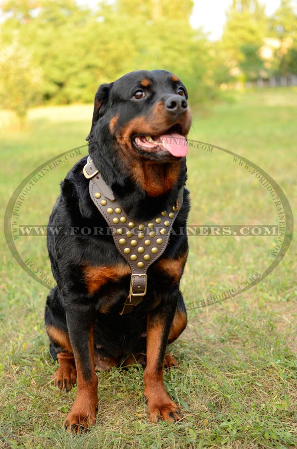 Dog harness studded with chest plate