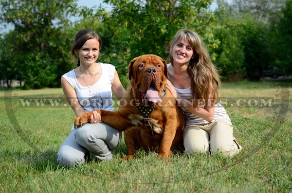Stuuded dog walking harness for Dogue-de-Bordeaux breed