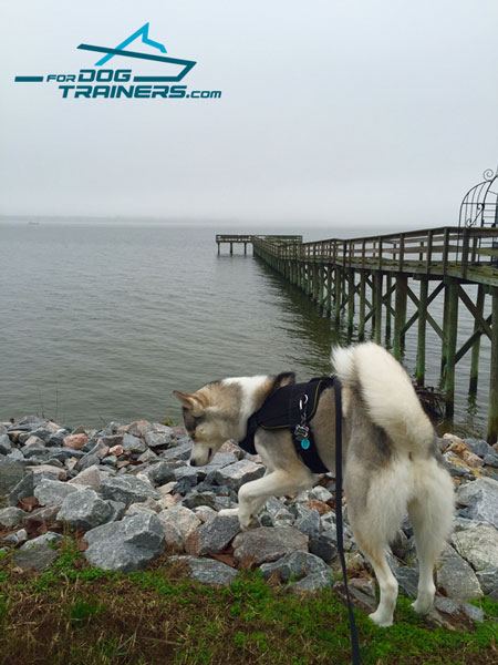 Nylon Siberian Husky Pulling Harness for Any Weather Walking
