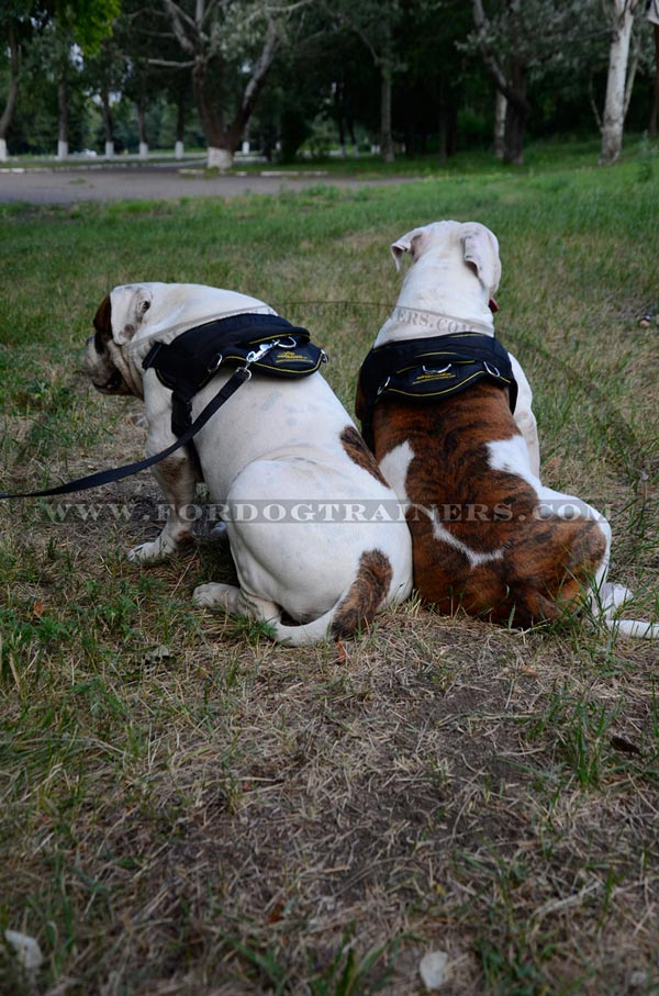 Working dog harness for American Bulldog