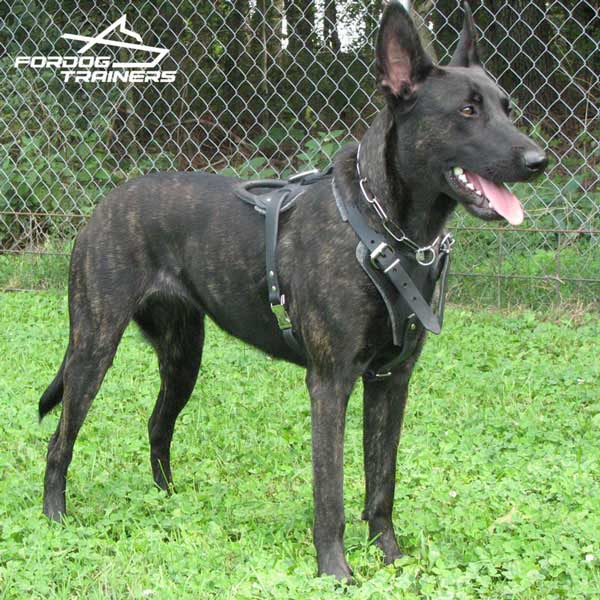 Dutch Shepherd Feels Good in Training Leather Harness