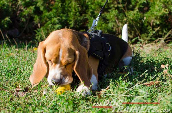 Beagle Nylon Harness With Cushion-Like Chest Plate