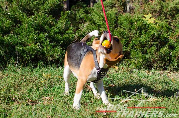 Leather Canine Harness Fashion Model Quite Safe for The Beagle's Health