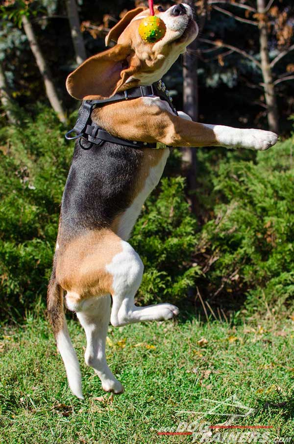 Lightweight Leather Beagle Harness Causes No Discomfort for The Pet