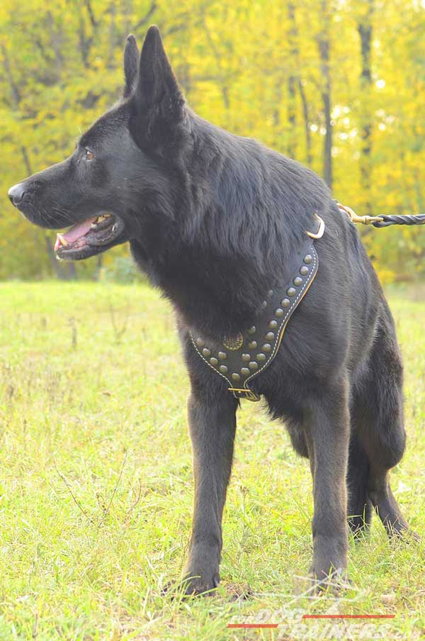 Dressy Leather Dog Harness Studded for Showy Promenades with GSD