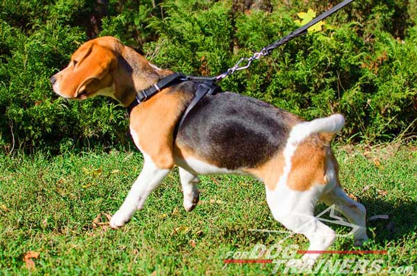 Dog Harness Leather Black for Walking and Handling Beagle