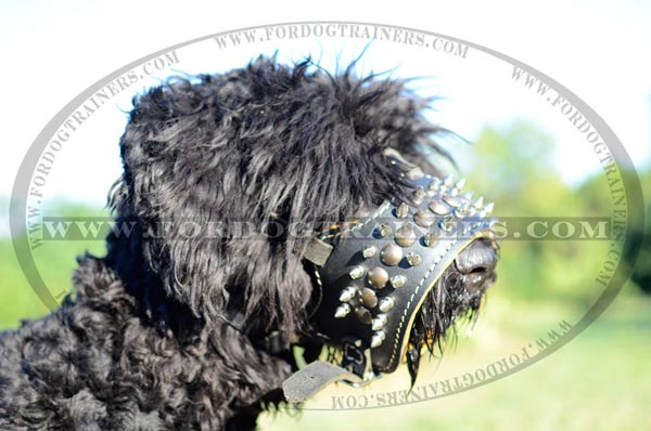 Spiked leather dog muzzle on Black Russian Terrier