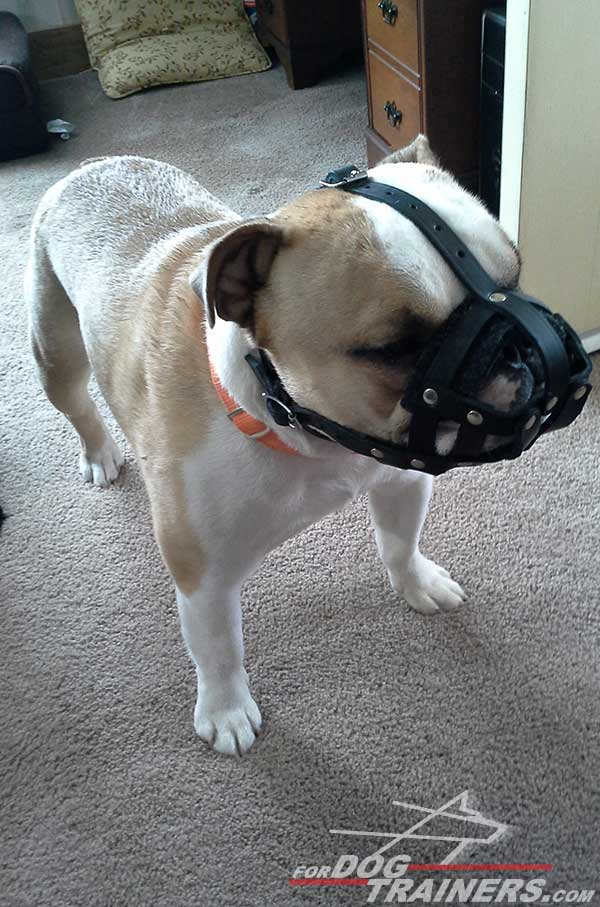 Well-ventilated Leather English Bulldog Muzzle