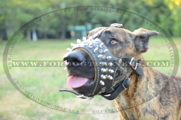 Great Dane wearing spiked leather dog muzzle