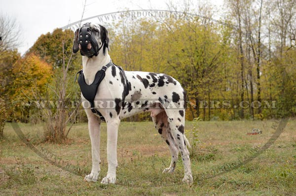 Strong Leather Muzzle for Great Dane