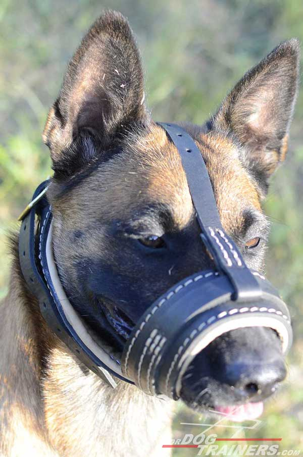Leather Belgian Malinois for Safe Walking