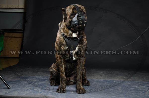 Agitation Training Cane Corso Muzzle