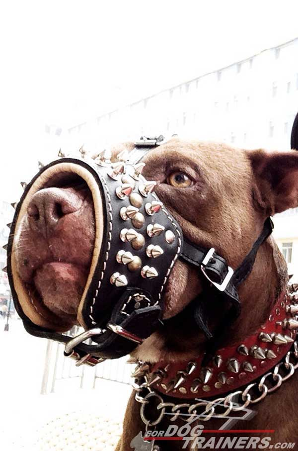 Luxury decorated Pitbull muzzle with spikes and studs