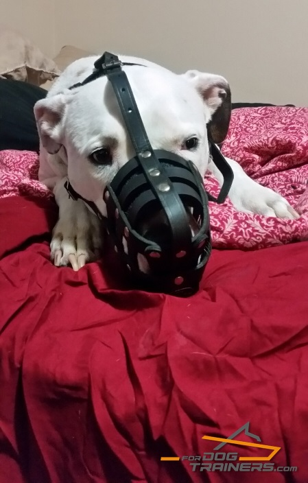 Lightweight Leather Basket Muzzle for Pitbull