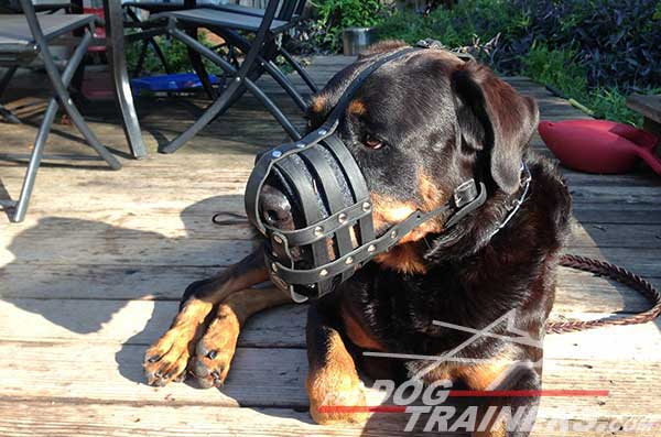 Rottweiler dog muzzle with nickel plated fittings