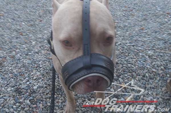 Royal Nappa padded loop-like Pitbull muzzle