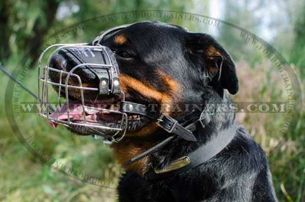 Wire cage muzzle for Rottweiler Walking