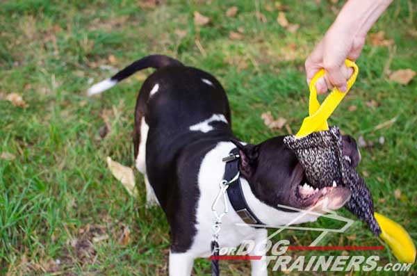 Training French Linen Amstaff Bite Tug