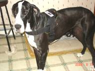 Service Dog Felicia wearing our All Weather Extra Strong Nylon Harness