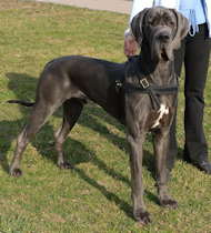 Tracking/Pulling Leather Dog Harness- Great Dane harness