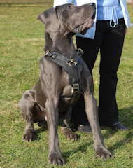 leather dog harness for great dane dog breed
