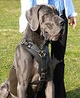 Exclusive Luxurious Handcrafted Padded Leather Dog Harness Perfect for your Great Dane H10