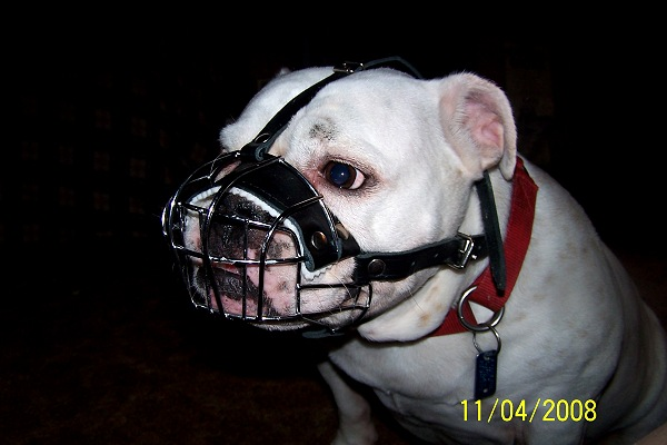 *Annie wearing our exclusive Basket Wire Dog Muzzle Light For English Bulldog- R2 - M4light - Click Image to Close
