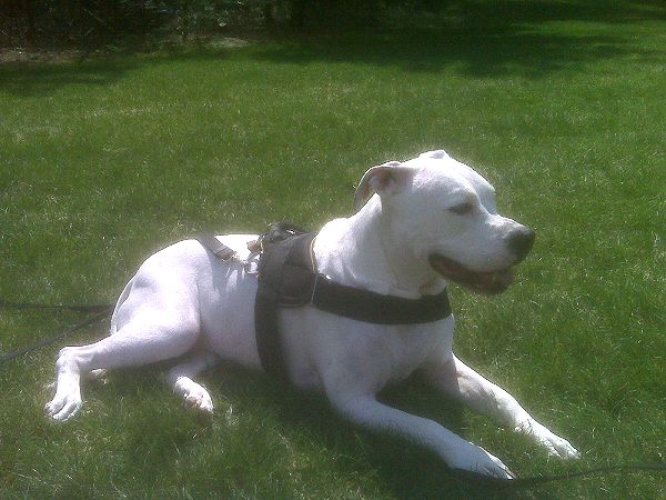 *Annie wearing our exclusive weather dog harness for tracking / pulling Designed to fit American Bulldog- H6 - Click Image to Close