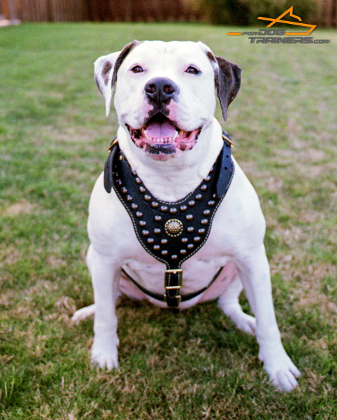 *Athena American Bulldog Wears Her Studded Leather Harness with Proud and Grace - Click Image to Close