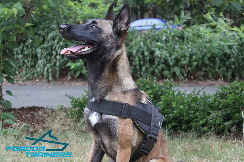 Handsome *Pivot Belgian Malinois in Nylon Dog Tracking Harness - Click Image to Close