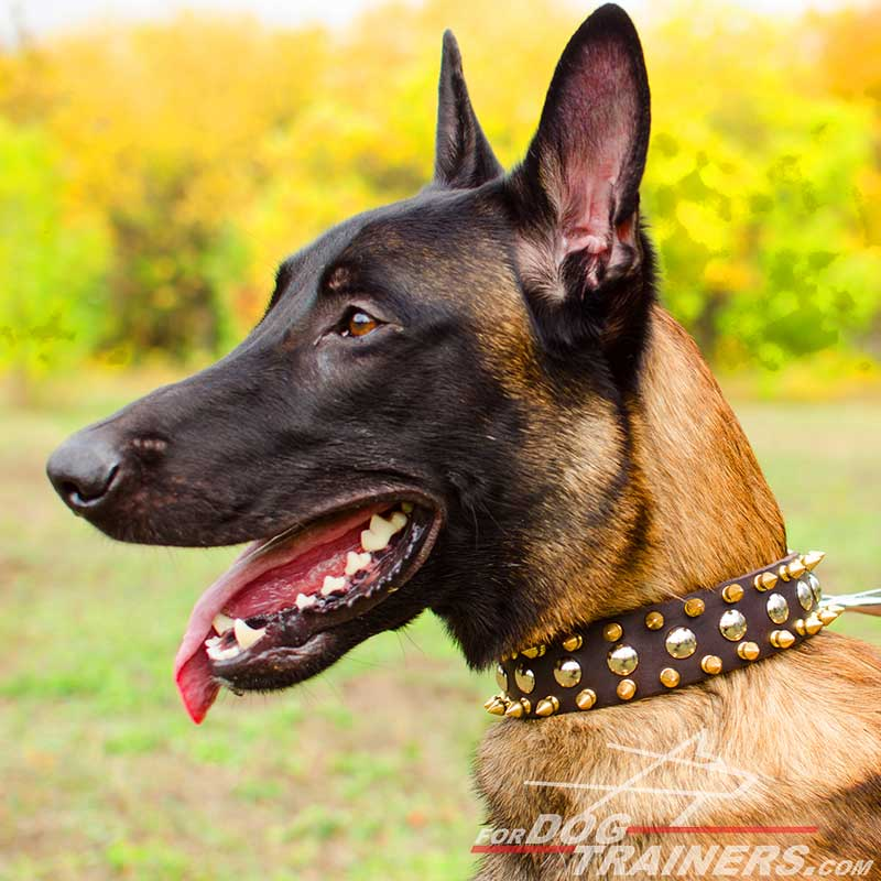 Leather Belgian Malinois Collar with 3 rows of Nickel Studs and Brass Spikes - Click Image to Close
