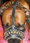 Boris looks powerful in Padded dog muzzle with spikes for all breeds M61