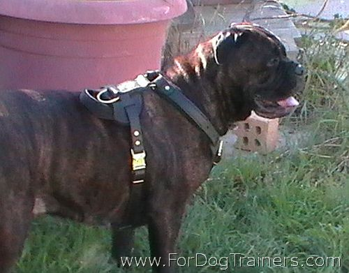 Bubba wearing our Leather Dog Harness - H1