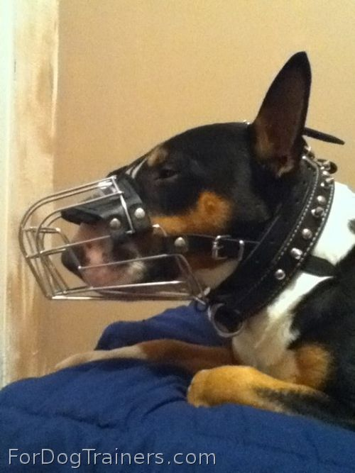Wire Basket Dog Muzzle looks good on Bull Terrier