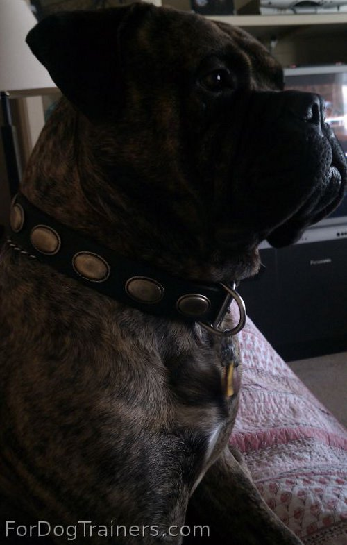 Lou is looking amazing in Retro Rulz - Gorgeous Vintage Dog Leather Collar