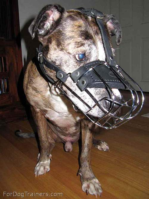 Gorgeous *Charlie wearing our Wire Basket Dog Muzzles - M4light - Click Image to Close