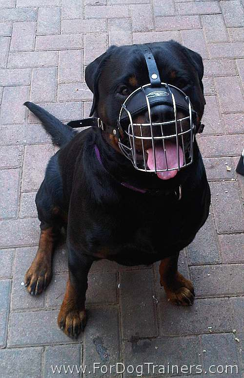 Rottweiler Dieselfeels comfortable in his new Dog Muzzle