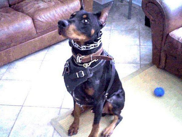 Padded Leather Dog Collar - C24 6  C24  1073 Padded Leather Dog Collar Doberman