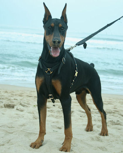 Solid Black Doberman Doberman tracking dog