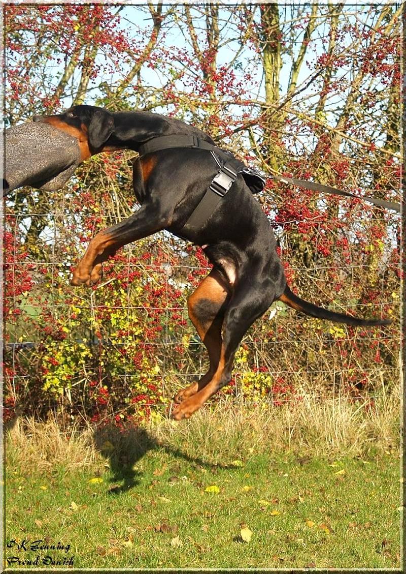 Order Lightweight Pulling Nylon Doberman Harness Dog