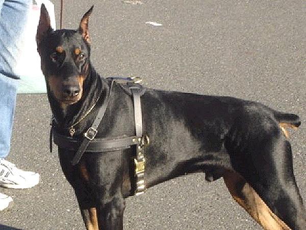 Tracking / Pulling / Agitation Leather Dog Harness For Doberman [H5
