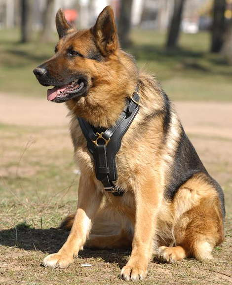 German Shepherd Easy Walk Leather Dog Harness with Y Shaped Padded Chest - Click Image to Close