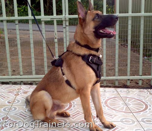 *Rockey is so cool in Agitation / Protection / Attack Leather Dog Harness - H1 - Click Image to Close