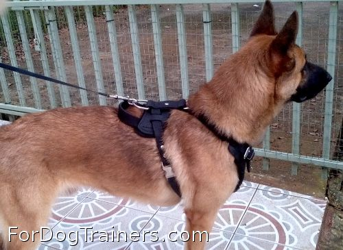 Rockey proudly wears his Agitation / Protection /Attack Leather Dog Harness