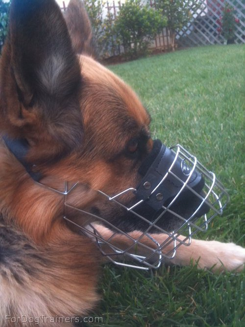 German Shepherd showing off in his new Wire Dog Muzzle - M9