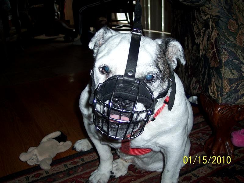 Lightweight Wire Basket Pitbull Muzzle with Soft Nose Padding - Click Image to Close