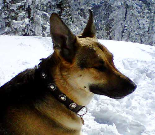 german shepherd leather dog collar