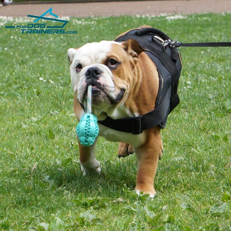 *Junior in Nylon English Bulldog Harness for Walking, Tracking & Training - Click Image to Close
